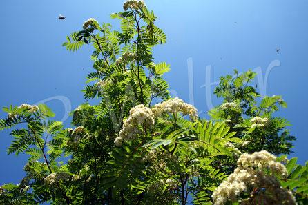 Bild: Eberesche Blüten Duft