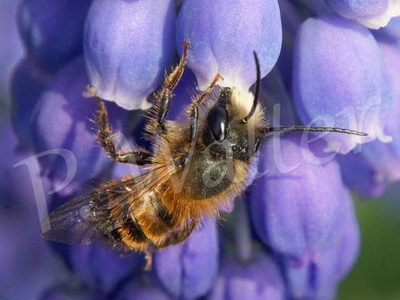 Bild: Rostrote Mauerbiene, Osmia bicornis, Männchen, Traubenhyzinthe