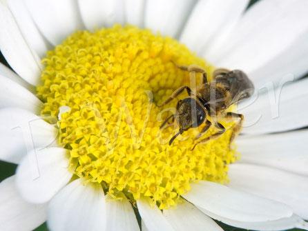 26.08.2017 : Wildbiene auf der Färberkamille