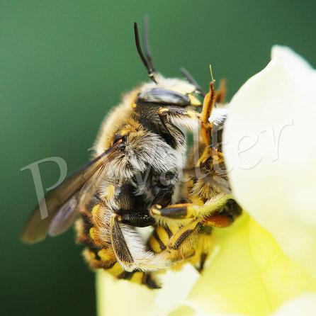 Bild: Paarung, Garten-Wollbiene, Große Wollbiene, Anthidium manicatum, Löwenmäulchen