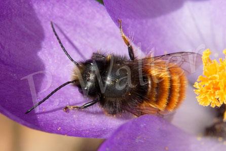 Bild: Gehörnte Mauerbiene, Osmia cornuta, Männchen, Krokus