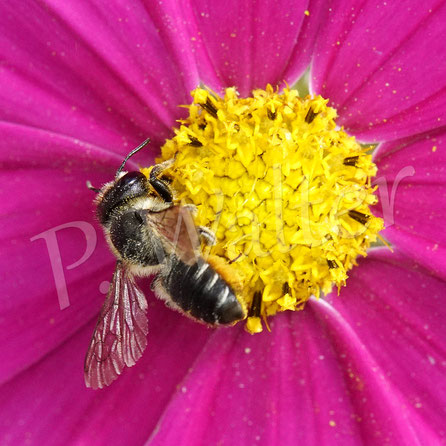 31.08.2020 : entweder eine späte Distelmauerbiene oder eine Blattschneiderbiene ??