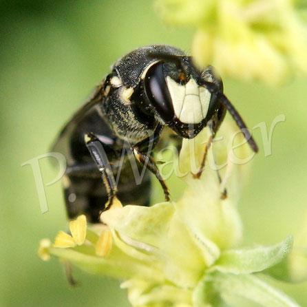 Bild: Maskenbiene an der Gelben Resede, Hylaeus ...