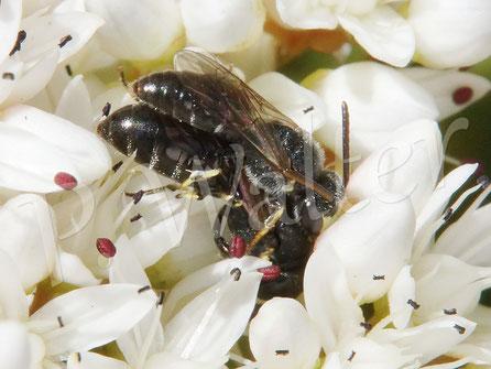 21.06.2017 : ein Maskenbienenpärchen auf dem Blütenbett des Weißen Mauerpfeffers