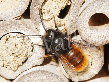 Bild: 03.04.2018 : Männchen einer Gehörnten Mauerbiene, Osmia cornuta