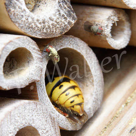 09.05.2017 : wo diese kleine Fliege war, ist deutlich zu sehen ! Keine Ahnung, was diese Wespe da will (Holz abschaben tun sie woanders) ...