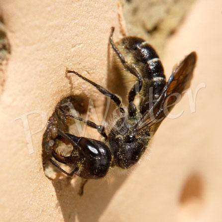 Bild: Hahnenfuß-Scherenbiene, Osmia florisomnis, schließt einen Nistgang im Tonstein