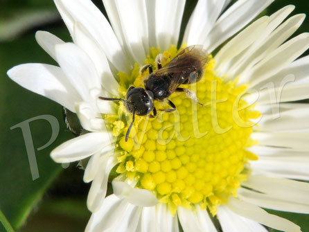 16.03.2017 : kleine Wildbiene am Gänseblümchen