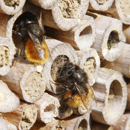Bild: Gehörnte Mauerbiene, Osmia cornuta, beim Verschließen ihres Nistgangs, Bambusstengel