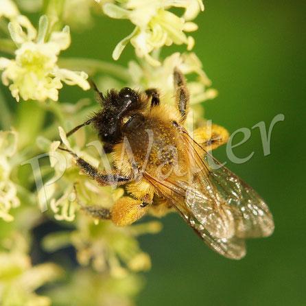 26.05.2016 : Wildbiene (Sandbiene ?) an Gelber Resede