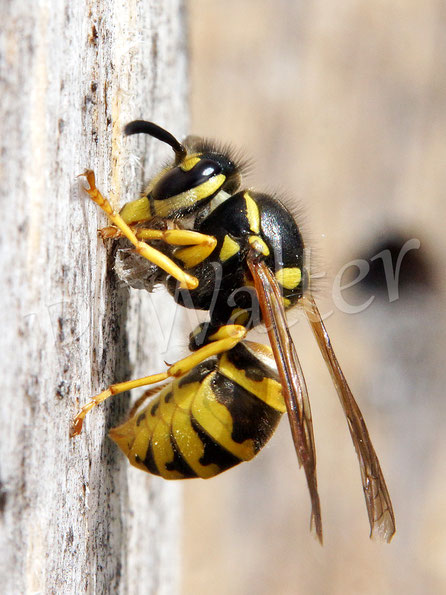 05.06.2017 : Wespe bedient sich am Holz der Insektennistwand