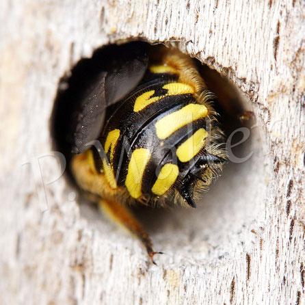 10.06.2018 : Garten_Wollbiene, Männchen mit dem typischen Dreizack, kommt aus der Schlafstelle