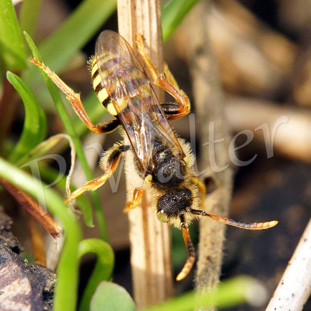 01.04.2017 : Wespenbiene, ein Brutparasit bei Sandbienen