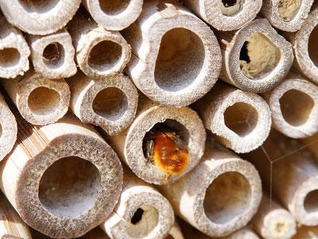 Bild: Gehörnte Mauerbiene, Weibchen, Osmia cornuta, bei der Inspektion mehrerer Bambusstengel