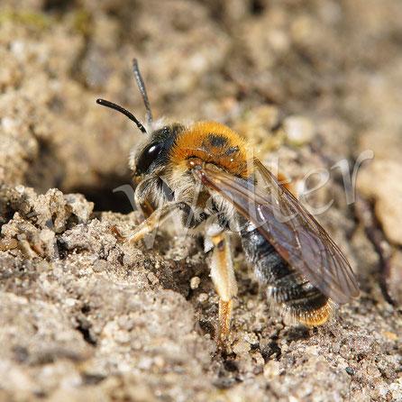 Bild: Rotbürstige Sandbiene, Andrena haemorrhoa, Nisteingang, Nesteingang, Erdloch