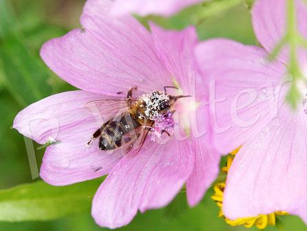 Bild: Honigbiene trinkt Nektar der Malve