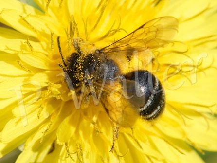26.05.2017 : eine andere Wildbiene am Löwenzahn