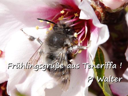 Märzurlaub auf Teneriffa : eine Pelzbiene an einer Obstblüte