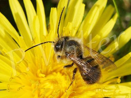 30.04.2017 : Männchen der Rostroten Mauerbiene am Löwenzahn