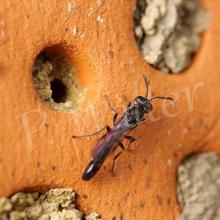 18.05.2018 : Parasit bei den Mauerbienen, Schlupfwepse ?