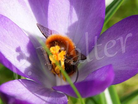Bild: Gehörnte Mauerbiene, Osmia cornuta, Männchen