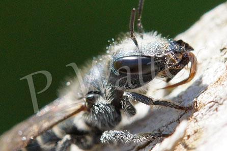 Bild: Stahlblaue Mauerbiene, Osmia caerulescens, Weibchen