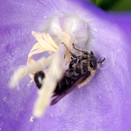 Bild: Glockenblumen-Scherenbiene, Männchen, Osmia rapunculi