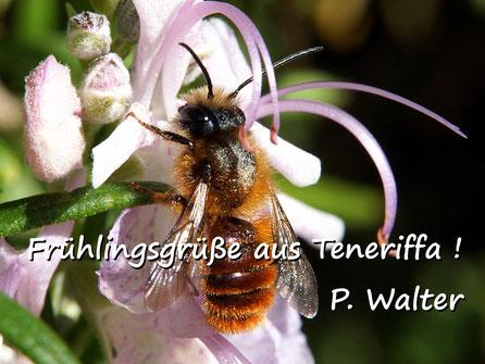 Märzurlaub auf Teneriffa : Wildbiene, ähnlich einer männlichen Gehörnten Mauerbiene, am Rosmarin