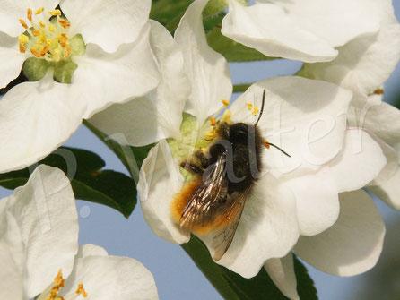 Bild: Gehörnte Mauerbiene, Osmia cornuta, an einer Zierapfelblüte