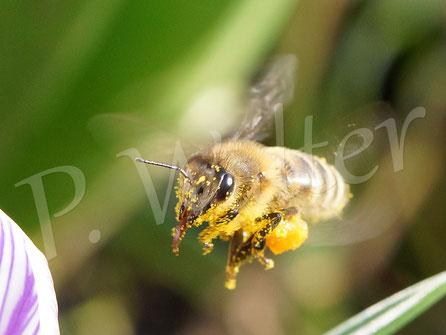 10.03.2018 : Honigbiene beim Anflug auf einen Krokus