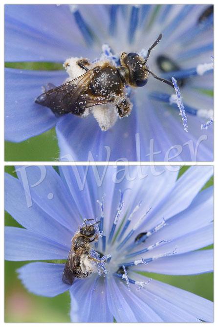 02.07.2016 : wahrscheinlich eine Furchenbiene an der Wegwarte