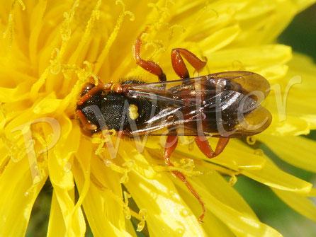 Bild: Wespenbiene. Nomada spec., am Löwenzahn