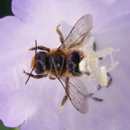 Bild: Blattschneiderbiene, Megachile spec., Blüte, Pfirsichblättrige Glockenblume