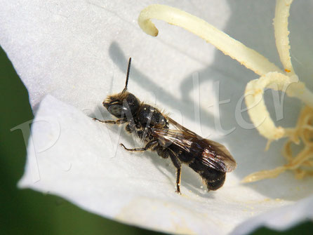 15.06.2018 : Männchen der Glockenblumen-Scherenbiene, Osmia rapunculi