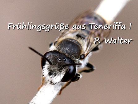 Märzurlaub auf Teneriffa : eine wohl männliche Wildbiene