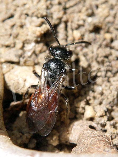 """Bild: Blutbiene, """"Gegenspieler"""" (Kuckucksbiene) der Furchenbiene"""