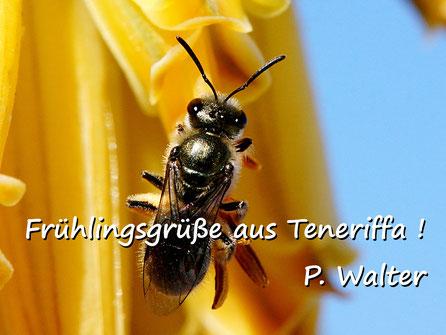 Märzurlaub auf Teneriffa : eine Furchenbiene