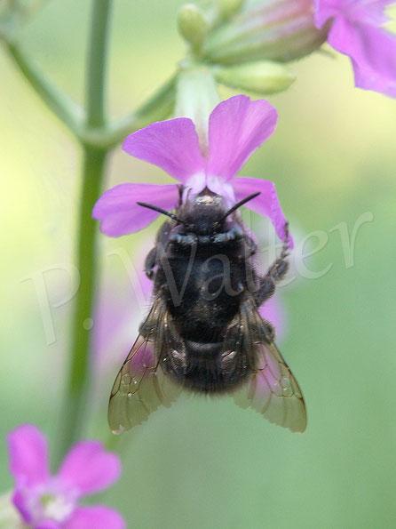 Bild: eine dunkle Frühlings-Pelzbiene,  Anthophora plumipes, an einer Pechnelke