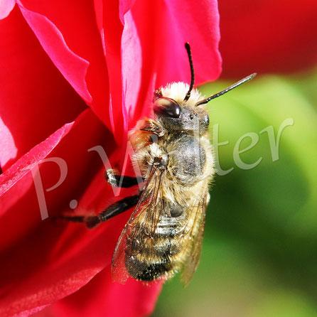 26.06.2017 : Wildbiene putzt sich auf der Rosenblüte, bei diesem Foto denkt man zuerst an ein Männchen der Rostoten Mauerbiene, wäre aber zu spät im Jahr ...