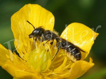 Bild: Hahnenfuß-Scherenbiene, Osmia florisomnis, am Hahnenfuß