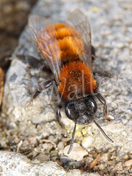 Bild: Fuchsrote Sandbiene, Andrena fulva, Weibchen