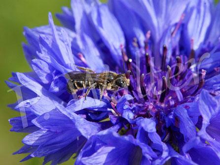 25.05.2017 : Männchen der Glockenblumen-Scherenbiene an einer Kornblume