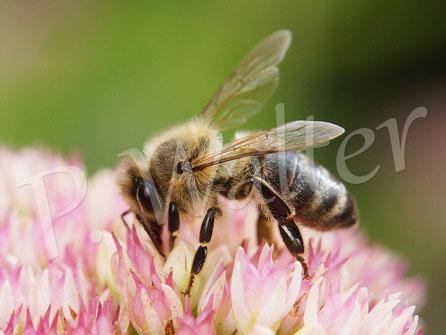 Bild: Honigbiene an der Fetten Henne