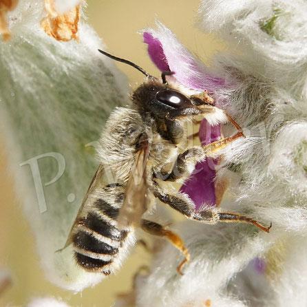 21.06.2017 : Blattschneiderbiene am Woll-Ziest