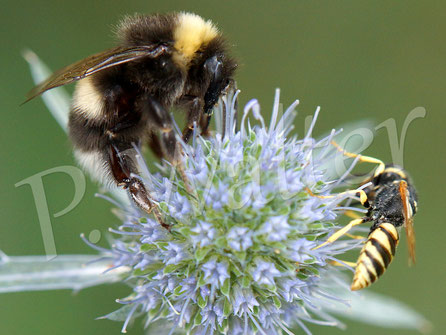 Bild: Bienenwolf, Philanthus triangulum, Hummel, blaue Kugeldistel
