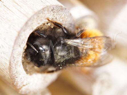 Bild: Gehörnte Mauerbiene, Osmia cornuta, verschließt die letzte Nistkammer