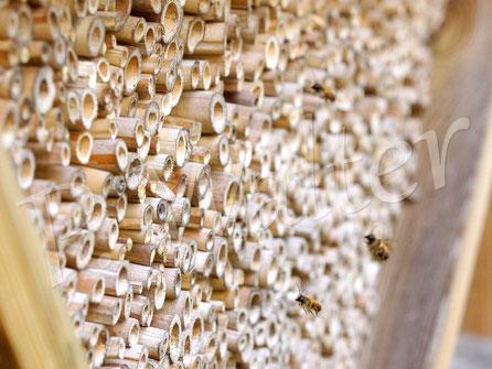 31.03.2017 : eine Schar männlicher Rostroter Mauerbienen schwirrt vor der Insektennistwand