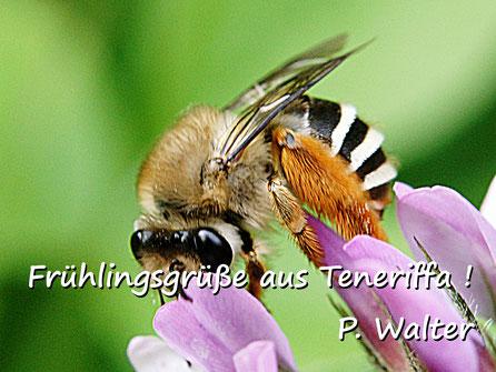 Märzurlaub auf Teneriffa : etwa eine Hosenbiene ?