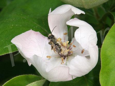 Bild: ein altes Männchen der Rostroten Mauerbiene, Osmia bicornis,  an einer Apfelquittenblüte