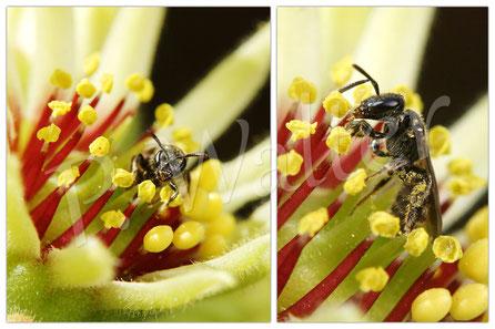 09.07.2016 : Furchenbiene an der Blüte einer Hauswurz
